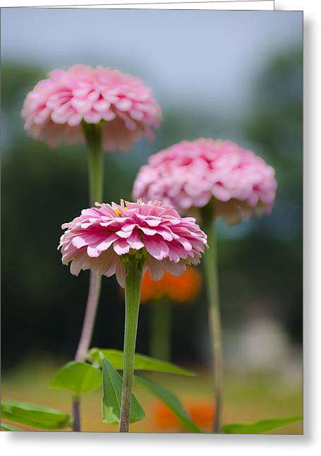 Pink Carnations Greeting Cards - Pink Carnations Greeting Card by Bill Cannon