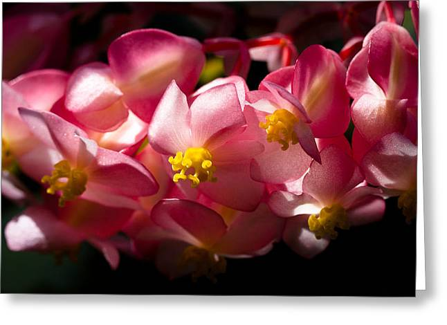 Begonia Garden Greeting Cards - Pink Cascade Greeting Card by David Patterson
