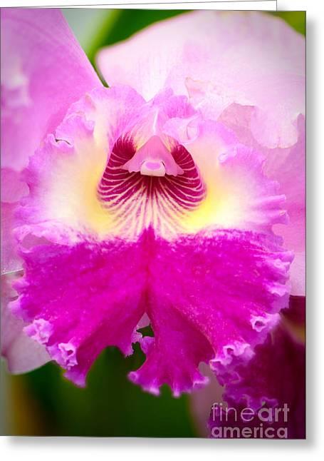 Cattleya Greeting Cards - Pink cattleya orchid Greeting Card by Oscar Gutierrez