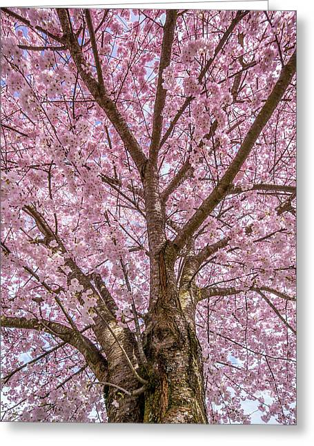 Pink Cherry Blossom Tree Greeting Card by Pierre Leclerc Photography