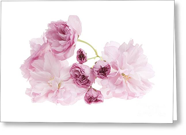 Flower Blooms Greeting Cards - Pink cherry blossoms Greeting Card by Elena Elisseeva