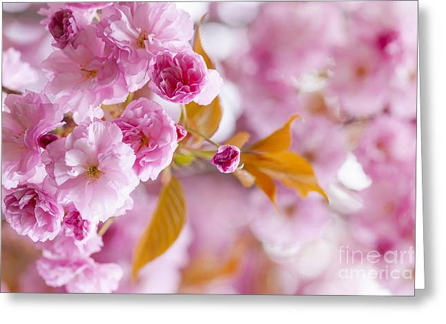 Pink Flower Branch Photographs Greeting Cards - Pink cherry blossoms in spring orchard Greeting Card by Elena Elisseeva