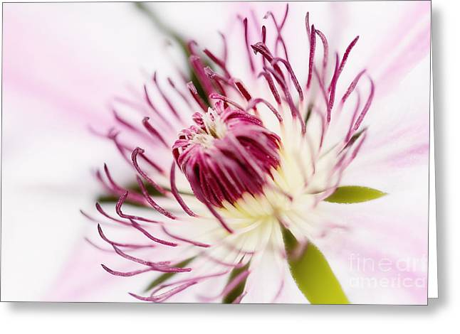 Pink Clematis Close Up - Dreamy Greeting Card by Natalie Kinnear