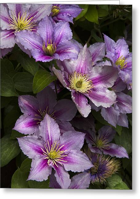 Swiss Photographs Greeting Cards - Pink Clematis Greeting Card by Debra and Dave Vanderlaan