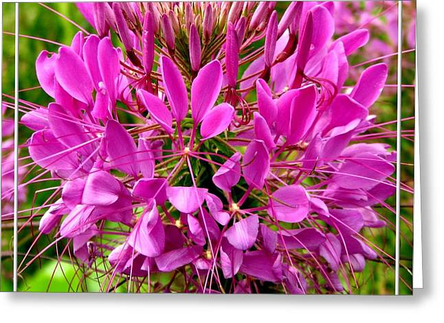 Cleome Flower Greeting Cards - Pink Cleome Flower Greeting Card by Rose Santuci-Sofranko