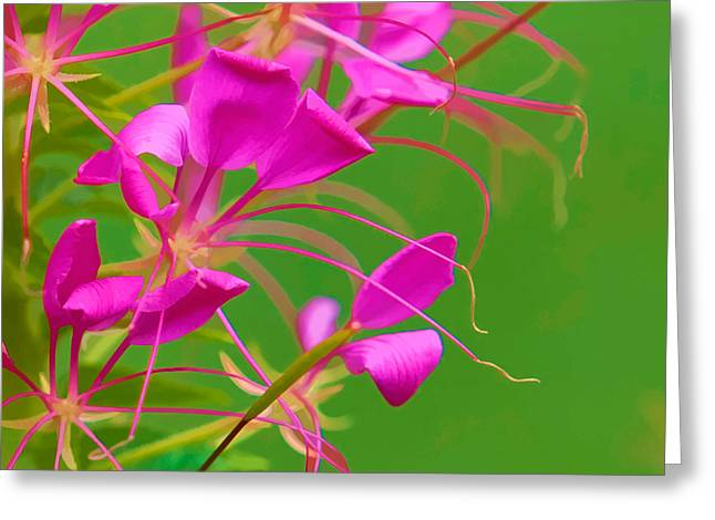 Pink Cleome or Spider Flower  Greeting Card by RM Vera