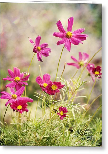 Pink Cosmos Greeting Card by Juli Scalzi