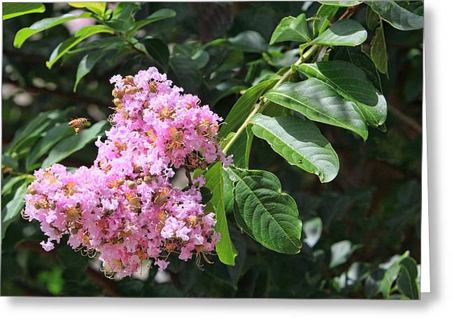 Crape Greeting Cards - Pink Crape Myrtle Blossom with Tiny Bee Greeting Card by Linda Phelps