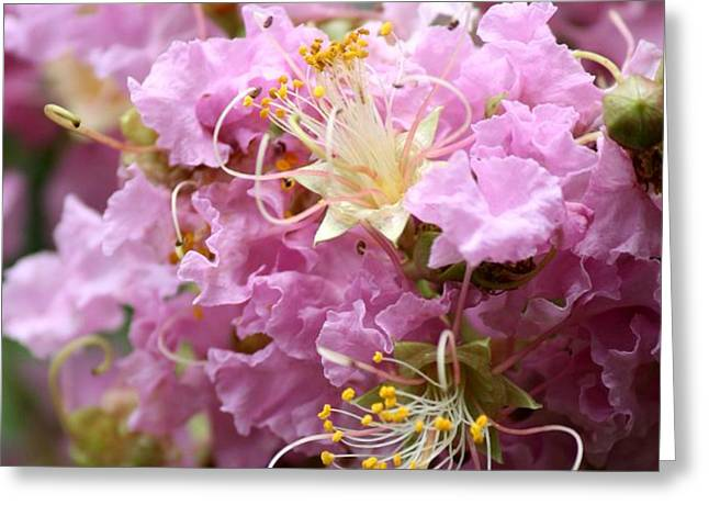 Pink Crepe Myrtle Closeup Greeting Card by Carol Groenen