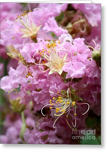 Crape Myrtle Greeting Cards - Pink Crepe Myrtle Closeup Greeting Card by Carol Groenen