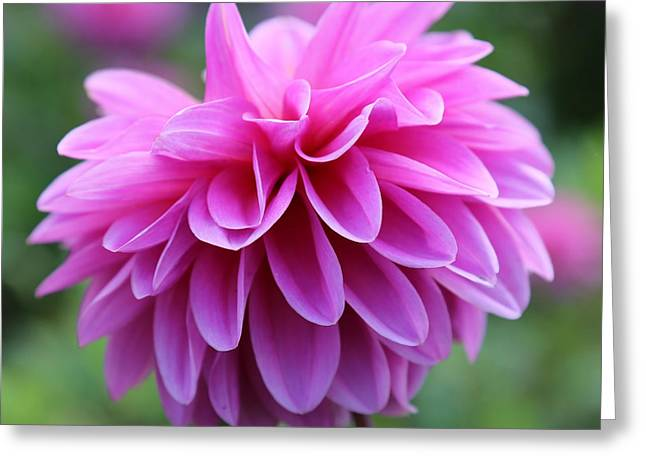 Pinks And Greens Greeting Cards - Pink Dahlia Closeup Greeting Card by Carol Groenen