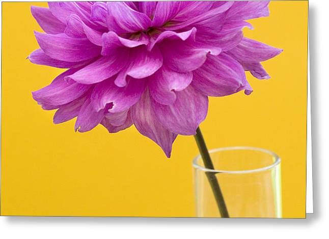 Pink Dahlia in a Vase against Yellow Orange Background Greeting Card by Natalie Kinnear