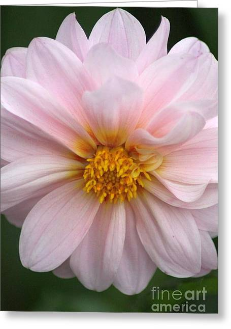 Photographs Greeting Cards - Pink Dahlia Greeting Card by Mrsroadrunner Photography