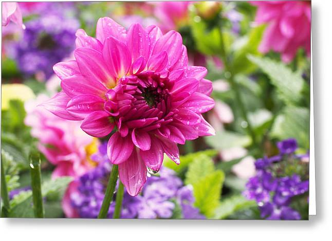 Dahlias Greeting Cards - Pink Dahlia Greeting Card by Rona Black