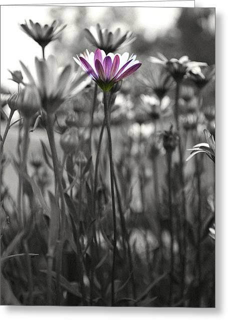 Monochromatic Greeting Cards - Pink  daisy flower Greeting Card by Sumit Mehndiratta