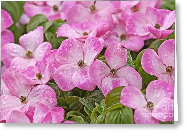 Florida Flowers Digital Greeting Cards - Pink Dogwood Blossoms with Raindrops Greeting Card by Sharon  Talson
