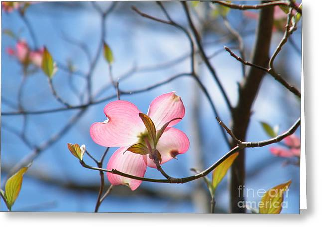 Wisteria In Bloom Greeting Cards - Pink Dogwood Greeting Card by Cheryl Hardt Art
