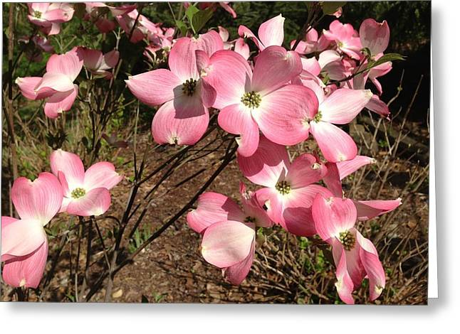 Indiana Dogwood Trees Greeting Cards - Pink Dogwood Greeting Card by Ron Torborg