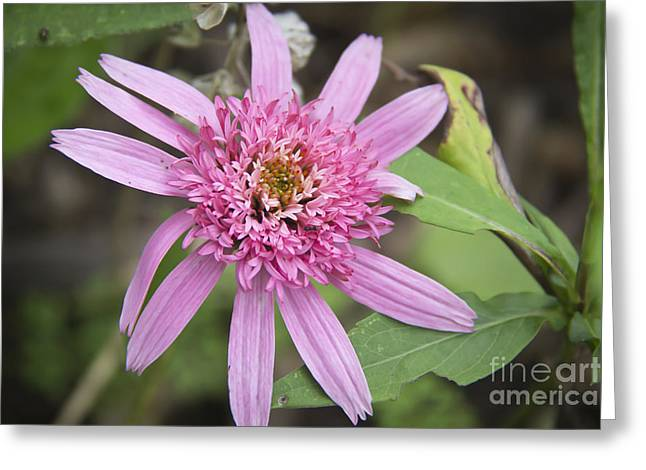 Ruffled Petals Greeting Cards - Pink Double Delight Echinacea Greeting Card by Teresa Mucha