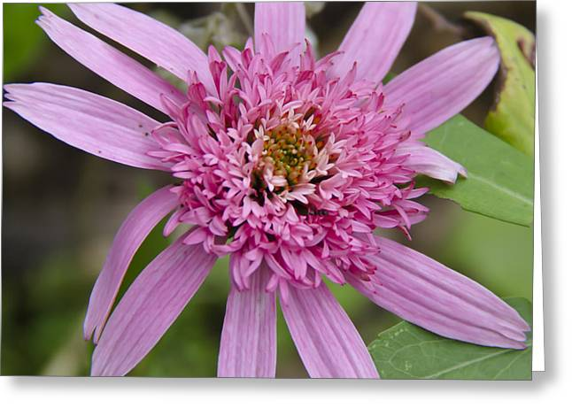 Ruffled Petals Greeting Cards - Pink Double Delight Squared Greeting Card by Teresa Mucha