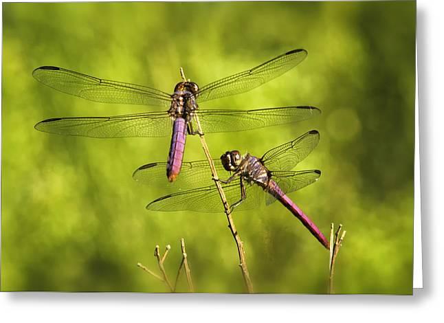 Dragonfly Macro Greeting Cards - Pink Dragonflies Greeting Card by Saija  Lehtonen