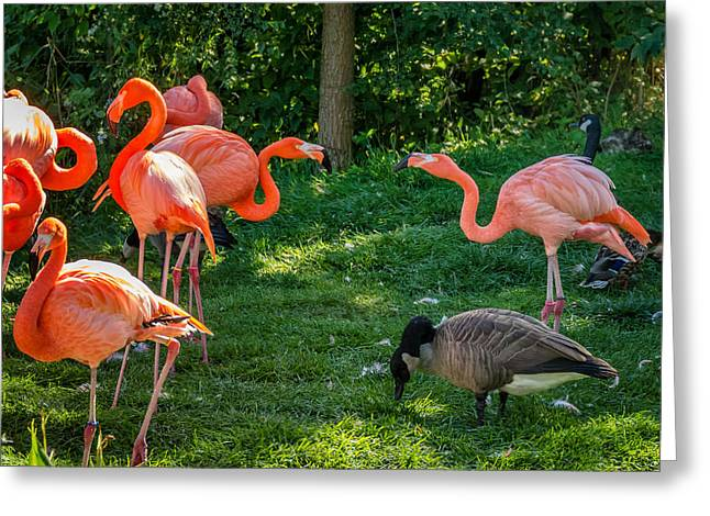 Pink Flamingo Nature Photo Greeting Cards - Pink Flamingos and Imposters Greeting Card by Steve Harrington