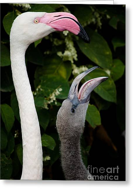 Waterlife Greeting Cards - Pink Flamingos  Greeting Card by Sarka Olehlova