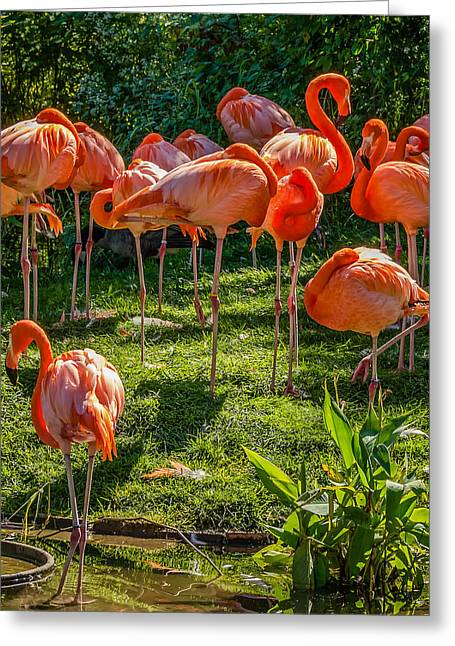 Pink Flamingo Nature Photo Greeting Cards - Pink Flamingos Greeting Card by Steve Harrington