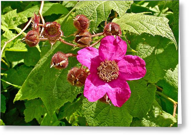Qc Greeting Cards - Pink Flower on Trail along Rivier du Nord in the Laurentians-QC Greeting Card by Ruth Hager