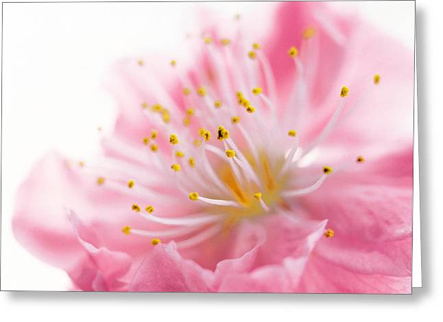 One Object Greeting Cards - Pink Flower Greeting Card by Panoramic Images