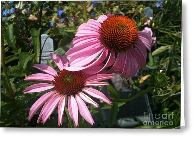 Pink Flowers Greeting Card by Amber Beach