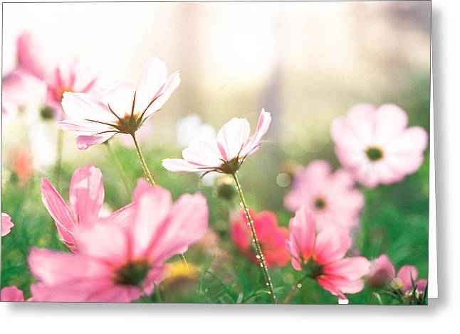 Sunlight On Flowers Greeting Cards - Pink Flowers In Meadow Greeting Card by Panoramic Images