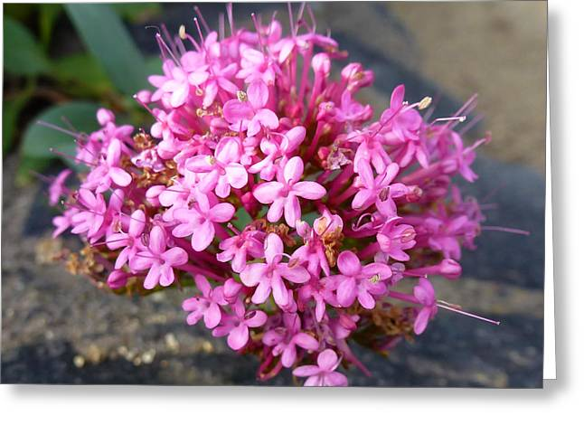 Sonoma Pyrography Greeting Cards - Pink Flowers Macro California Greeting Card by Fabien White