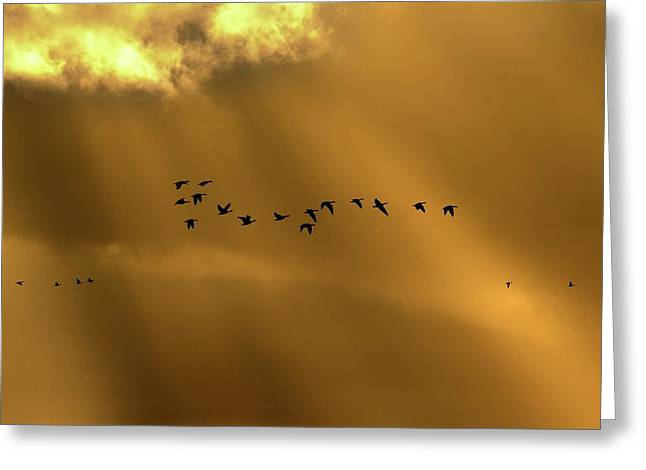 Pink Footed Geese Greeting Card by Simon Booth