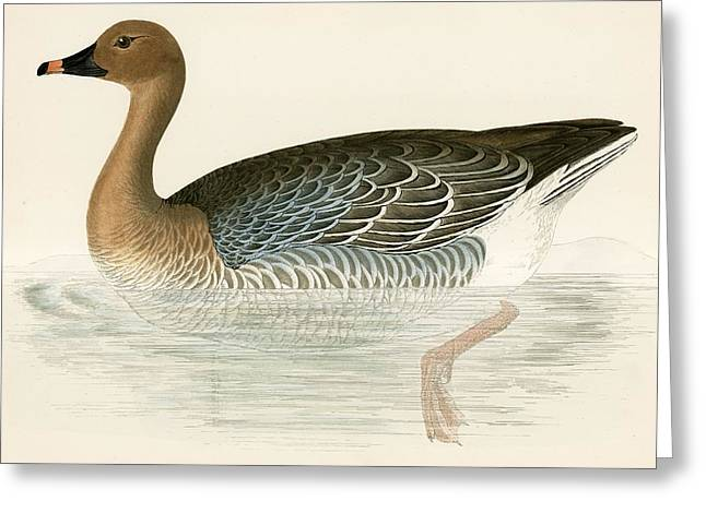Bird Feet Greeting Cards - Pink Footed Goose Greeting Card by Beverley R. Morris