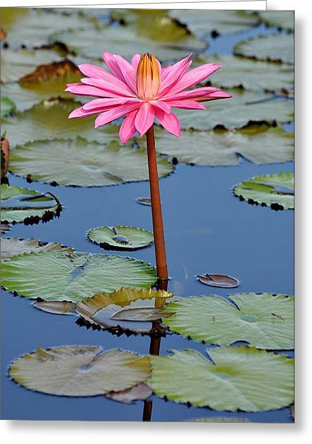 Water Lilly Mixed Media Greeting Cards - Pink for the cure  Greeting Card by Davids Digits