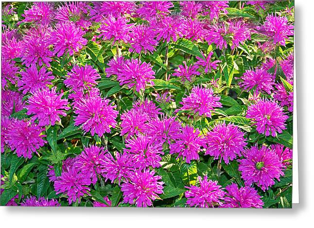 Summertime Greeting Cards - Pink Garden Flowers Greeting Card by Aimee L Maher Photography and Art