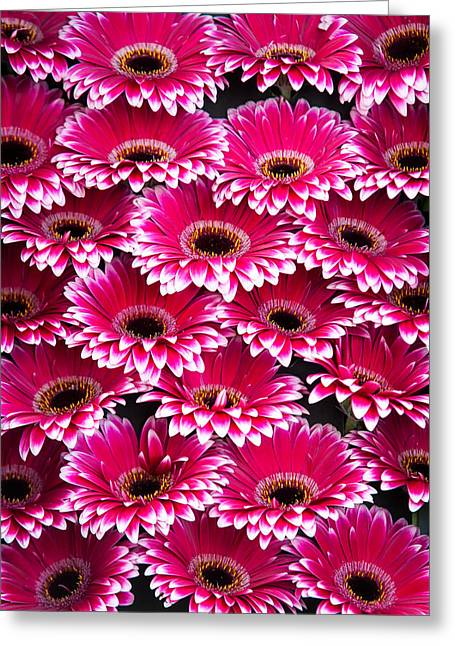 Square Format Greeting Cards - Pink Gerbera. Amsterdam Flower Market Greeting Card by Jenny Rainbow