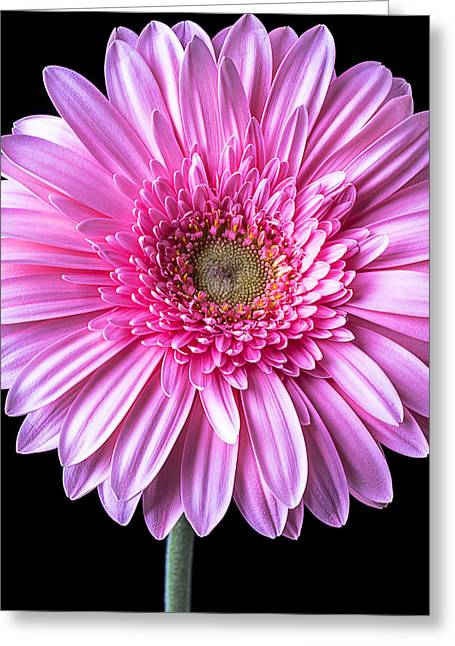 Pink Chrysanthemums Greeting Cards - Pink Gerbera Daisy Close Up Greeting Card by Garry Gay