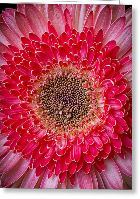 Pink Chrysanthemums Greeting Cards - Pink Gerbera Daisy Greeting Card by Garry Gay