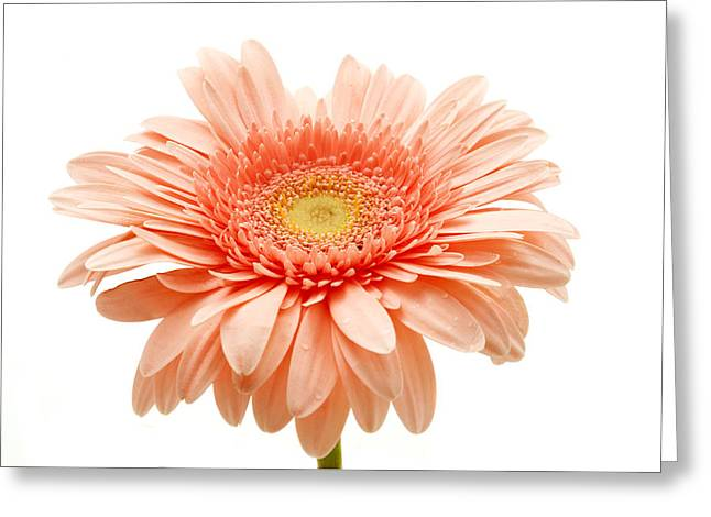 White Background Greeting Cards - Pink gerbera Greeting Card by Fabrizio Troiani
