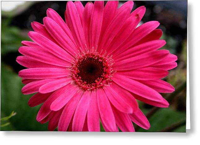 Deer Resistant Flowers Greeting Cards - Pink Gerbera Greeting Card by Kay Novy