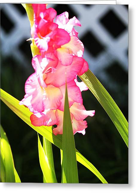 Gladiole Greeting Cards - Pink Gladiolus Greeting Card by Cathy Lindsey