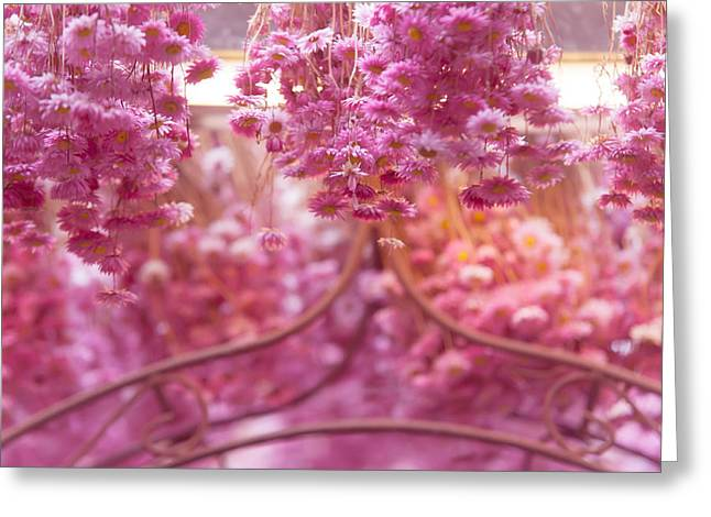 Floating Flowers Greeting Cards - Pink Helichrysum. Amsterdam Flower Market Greeting Card by Jenny Rainbow