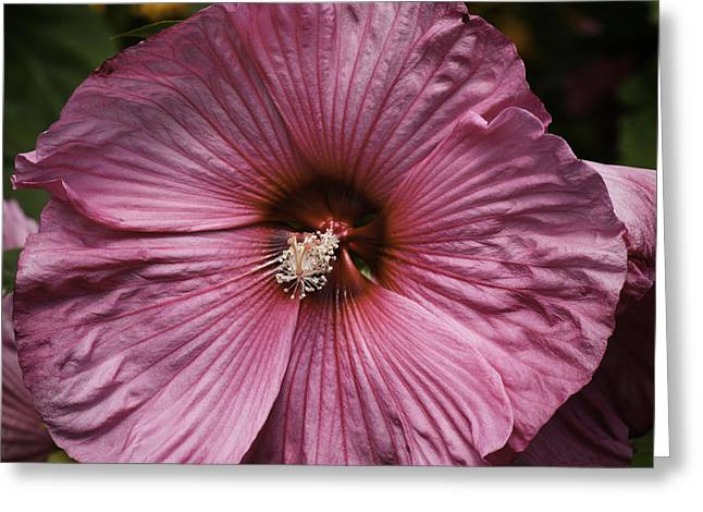 Thomas Young Photography Greeting Cards - Pink Hibiscus 1 Greeting Card by Thomas Young