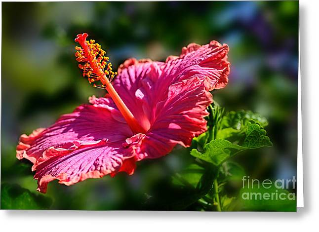 Stigma Greeting Cards - Pink Hibiscus by Kaye Menner Greeting Card by Kaye Menner