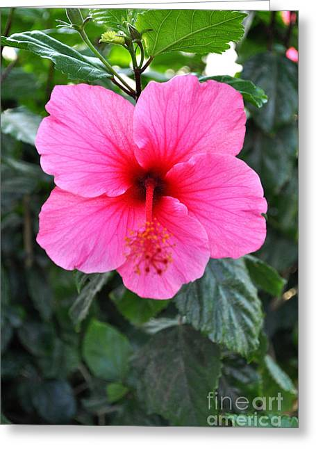 Redish Greeting Cards - Pink Hibiscus With Red Throat Greeting Card by Jay Milo
