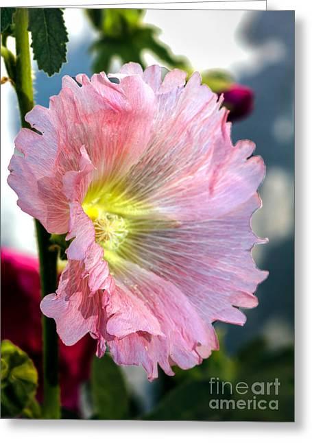 Alcea Rosea Greeting Cards - Pink Hollyhock Greeting Card by Robert Bales