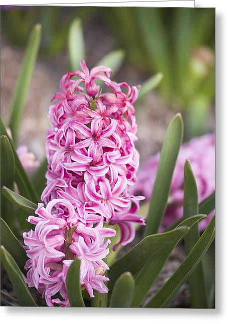 Pamela Parton Photography Greeting Cards - Pink Hyacinth Greeting Card by Pamela Parton