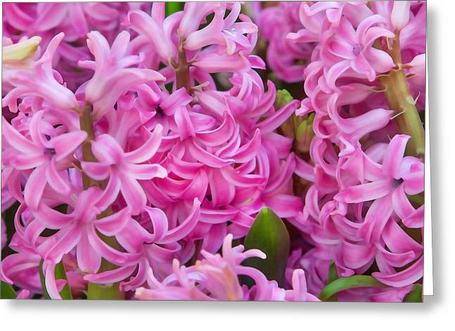 Renewing Greeting Cards - Pink Hyacinths Greeting Card by Art Block Collections